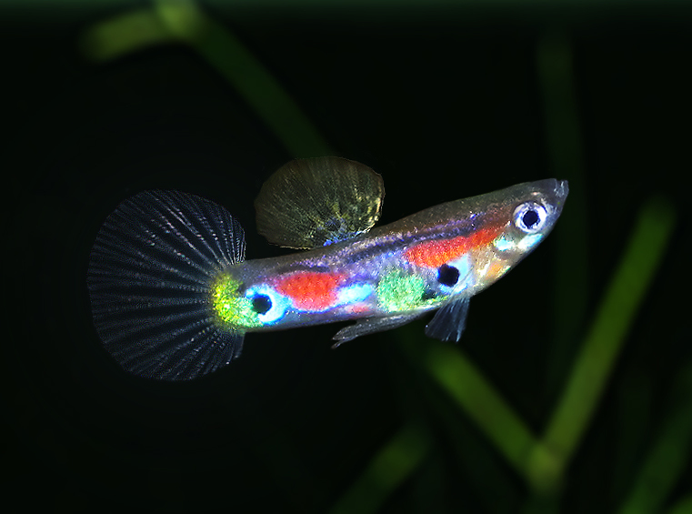 wildguppy5.jpg